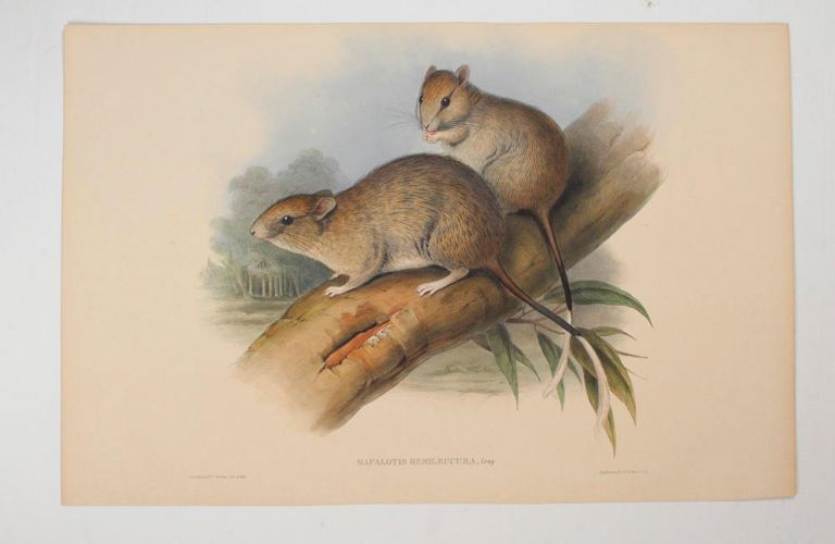 Hapalotis hemileucura [Brush-tailed Rabbit-rat]. John GOULD, England and Australia.