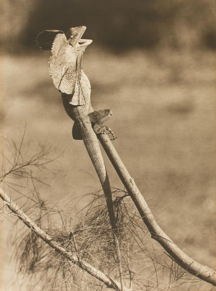 'Frilled Lizard'. A vintage sepia-toned carbon print on the original flush-cut thick card mount. Frank HURLEY, Australia.