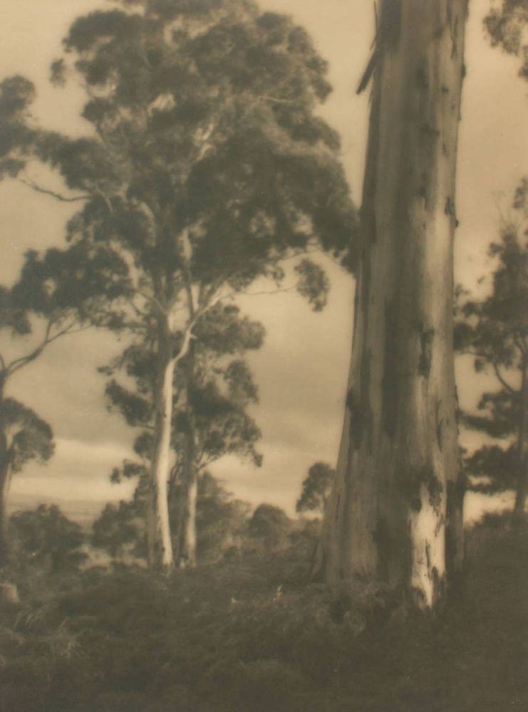 'Mountain Gums'. A vintage gelatin silver photograph (visible image size 233 × 174 mm). John KAUFFMANN.