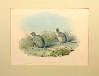 Lagorchestes conspicillata [Spectacled Hare-Wallaby]. John GOULD, England and Australia
