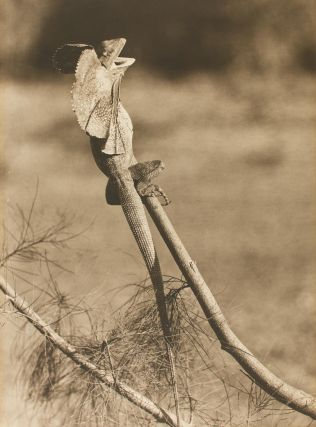 'Frilled Lizard'. A vintage sepia-toned carbon print on the original flush-cut thick card mount....