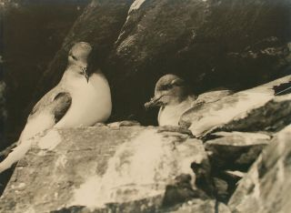 'Antarctic Petrels on the Nest, Cape Hunter'. Australasian Antarctic Expedition, Frank HURLEY