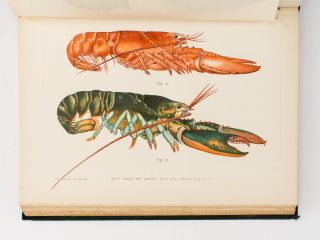 The American Lobster. A Study of its Habits and Development. [Contained in] 'Bulletin of the United States Fish Commission', Volume 15, 1895. Francis Hobart HERRICK.