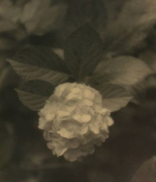 Hydrangea #2. A vintage gelatin silver photograph (visible image size 290 × 220 mm). John KAUFFMANN.