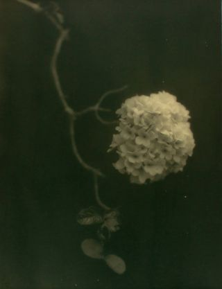 'Hydrangea'. A vintage gelatin silver photograph (visible image size 275 × 233 mm) on the original mount. John KAUFFMANN.