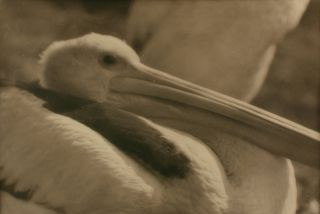 'Pelican'. A vintage gelatin silver photograph (visible image size 201 × 301 mm) on the original mount. John KAUFFMANN.