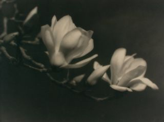 'Japanese Magnolia'. A vintage gelatin silver photograph (visible image size 266 × 356 mm) on the original mount. John KAUFFMANN.